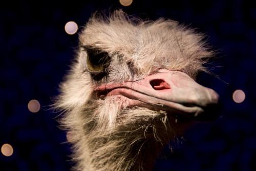 Free photo: Bird Ostrich Animal Cat Fur Eyes Eye Feline Pet Portrait #5 - 123PhotoFree.com