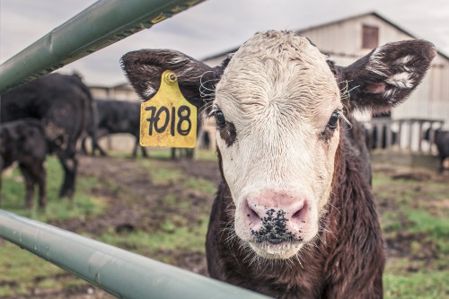 Free photo: Simpleton Farm Animal Mammal Livestock Sheep #90 - 123PhotoFree.com