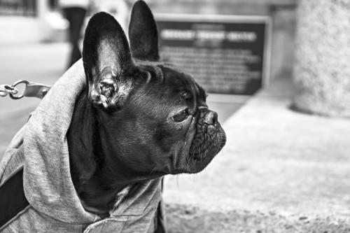 Free photo: Bulldog Dog Canine Pet Cute Portrait Black Brown Funny #45 - 123PhotoFree.com