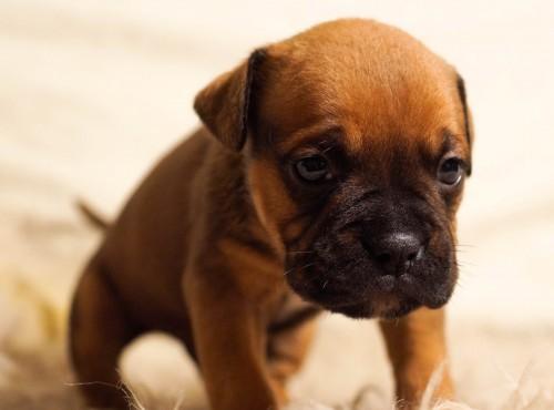 Free photo: Dog Canine Boxer Pet Puppy #107 - 123PhotoFree.com