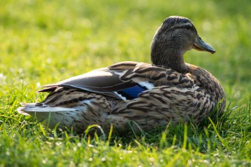 Free photo: Drake Duck Waterfowl Bird Wildlife #112 - 123PhotoFree.com