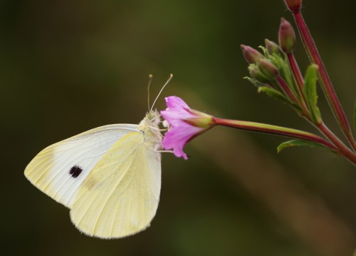 Free photo: Butterfly Insect Flame Fly Flower Bloom Nectar #120 - 123PhotoFree.com