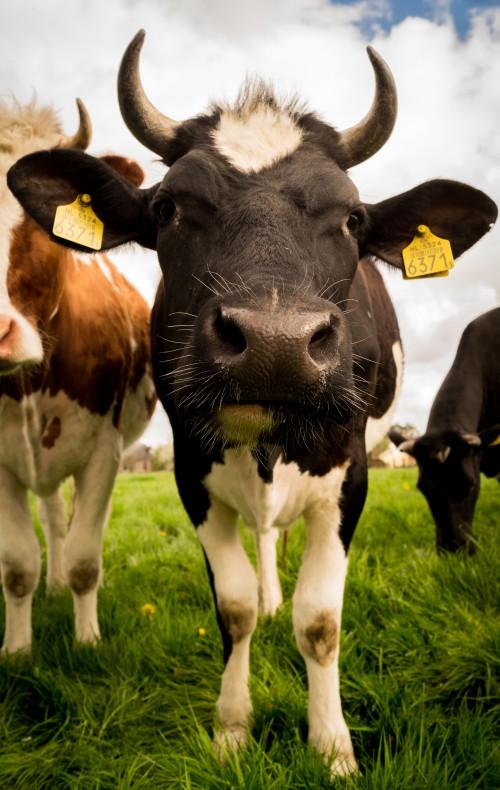 Free photo: Cattle Cow Dairy Mammal Farm #101 - 123PhotoFree.com