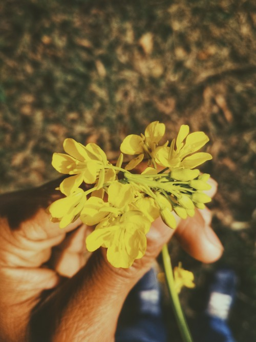 Free photo: Flower Herb Daisy Plant Chamomile Meadow Blossom Spring #109 - 123PhotoFree.com
