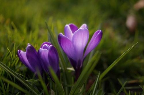 Free photo: Crocus Flower Plant Spring Blossom Bloom Floral Petal Tulips #134 - 123PhotoFree.com