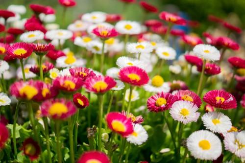 Free photo: Herb Plant Flower Flowers Daisy #175 - 123PhotoFree.com
