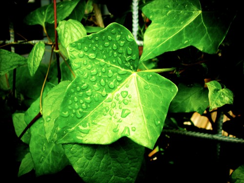 Free photo: Duckweed Plant Clover Leaf Spring Garden Leaves Foliage Growth Aquatic #13 - 123PhotoFree.com
