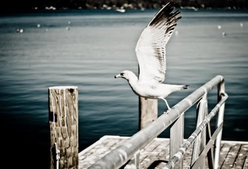Free photo: Gull Seabird Bird Sea Water Feather Wildlife Ocean Seagull #14 - 123PhotoFree.com